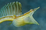 Pipe blenny 2